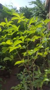 Plant de baobab